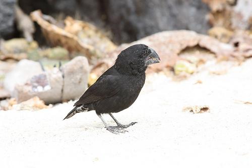 Darwin's Large Ground Finch